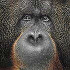 Orangutan by Svetlana Sewell