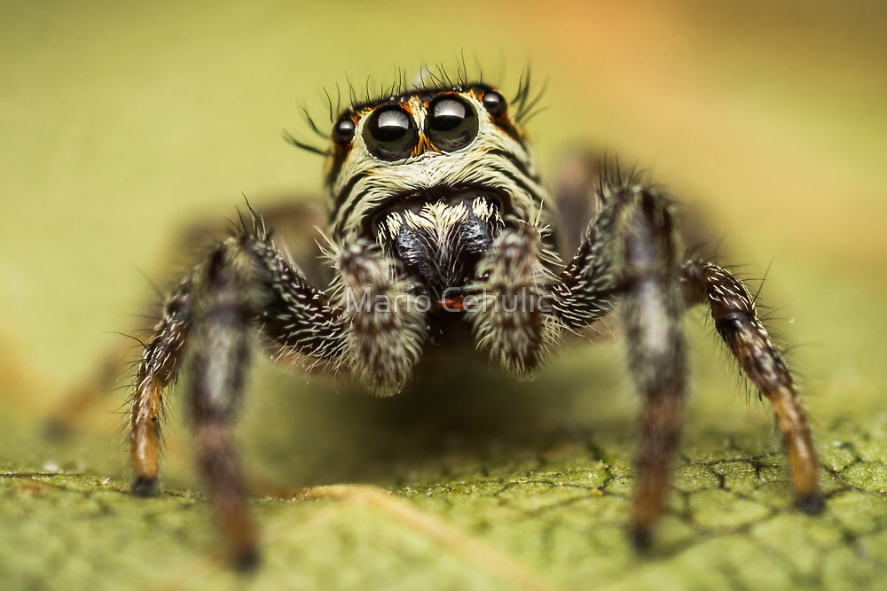 Macaroeris nidicolens jumping spider photo by Mario Cehulic