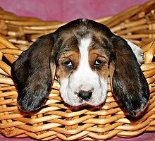 Bassethound Puppy in a Basket by joycemlheureux
