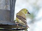 Yellow Finch by Susan S. Kline
