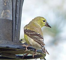 Yellow Finch by Susan S. Kline