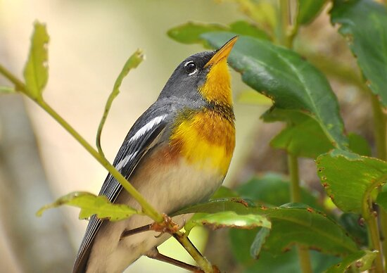 Northern Parula Portrait by Kathy Baccari