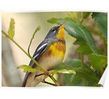 Northern Parula Portrait Poster