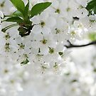 spring blossom by passerby2