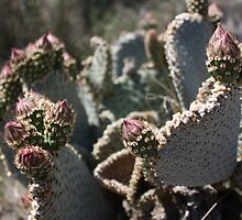 Prickly Pear Cactus Flower Buds by IreKire