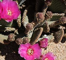 Closeup of a Prickly Pear Cactus in Bloom by IreKire
