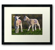 Springtime Lambs Framed Print