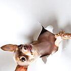 Chihuahua by Brigitta Frisch