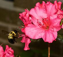 Bumble in the Pink by Otto Danby II