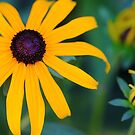 Black Eyed Susan by Debbie Oppermann