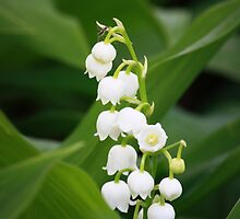 Lilly of the Valley by pratt1ak
