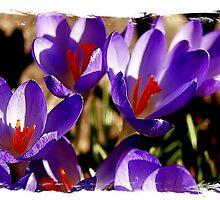 Violett......... by soulangels