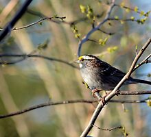 Spring Is For Sparrows by JeannieBlue