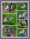Virginia Bluebells Wildflowers - Mertensia virginica by MotherNature