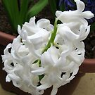 Snowy White Hyacinth by Kathryn Jones