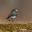 Dark-eyed Junco Standing Tall by Bill McMullen