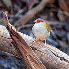 Red Browed Finch by John Sharp