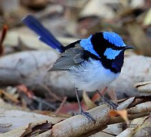 The Male Blue Wren by robmac