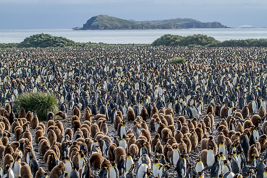 Where's Wally - King Penguin Colony, South Georgia by DestnUnknown