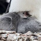 Chinstrap Penguin Chicks - Antarctica by DestnUnknown