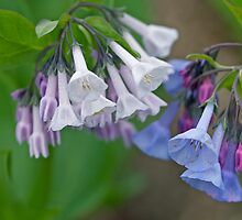 Virginia Bluebells Wildflowers - Mertensia virginica by MotherNature