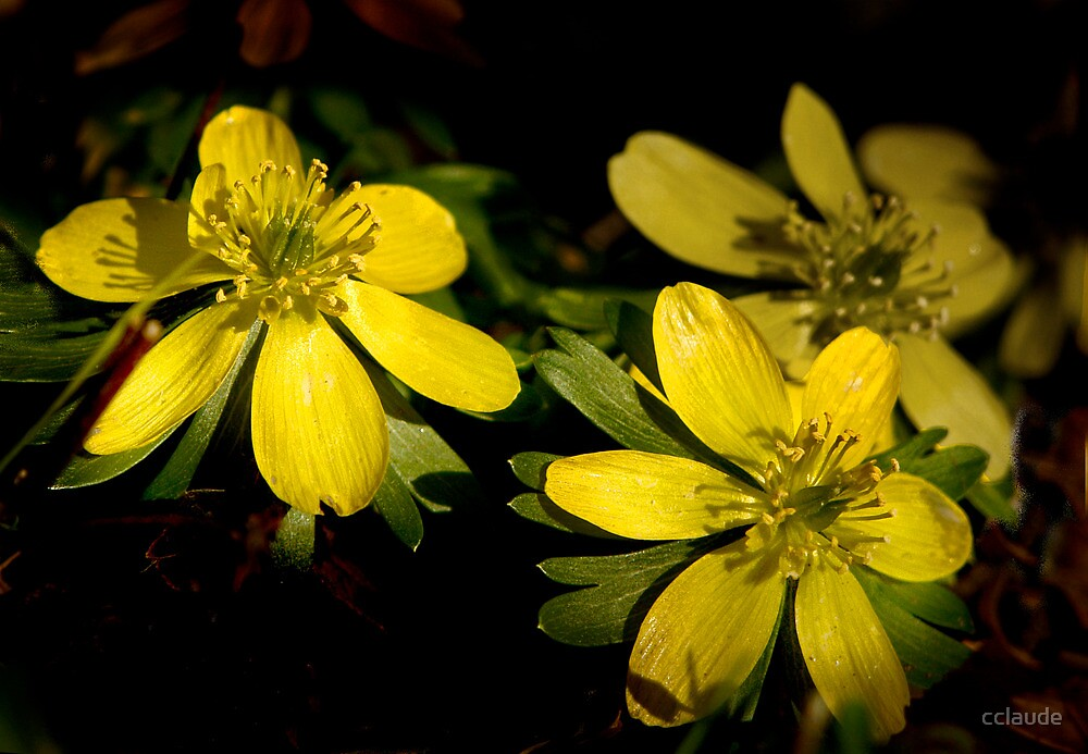 Winter Aconite by cclaude
