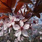 Purple leaf plum flowers and leaves by demonkourai
