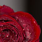 Red Rose macro 2 by baneling