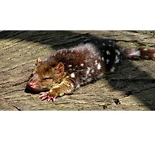Baby spotted quoll Photographic Print