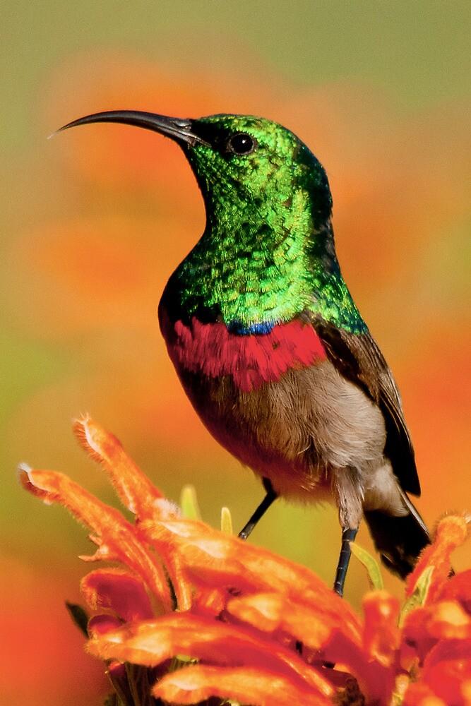 shimmering sunbird by Anton Alberts