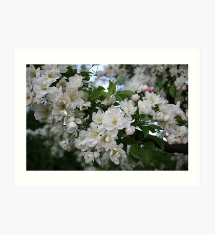 Apple tree branch in bloom Art Print