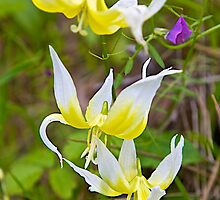 Fawn Lily by John Butler