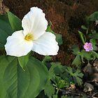 Trillium in the Evening Sun by Lynn Gedeon