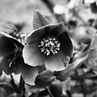 HELLEBORUS by Redtempa