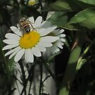 Bee On Daisy by Guy Ricketts