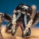 Salticus scenicus male jumping spider photo by Mario Cehulic
