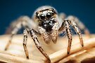Salticus scenicus female jumping spider photo by Mario Cehulic