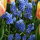 Muscaris framed by tulips by bubblehex08