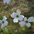 Three Dogwood Tree Flowers by JMG1883