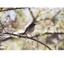 Gnatcatcher Photographic Print