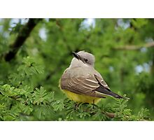 Western Kingbird  Photographic Print