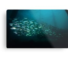 Yellowtail Mackerel Metal Print