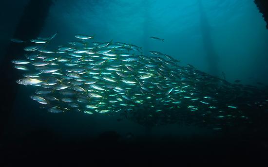 Yellowtail Mackerel by MattTworkowski