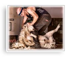 Sheep shearing Canvas Print