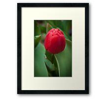 Deep Red Tulip Framed Print