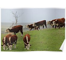 Marrawah cattle in the rain Poster