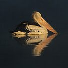 Morning Dip in The Mist  Pelican  Canberra Australia  by Kym Bradley