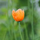 Orange Poppy #1 by KUJO-Photo