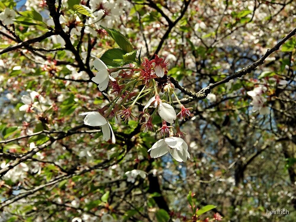 In bloom by heinrich