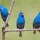 Indigo Bunting Trio by Bonnie T.  Barry